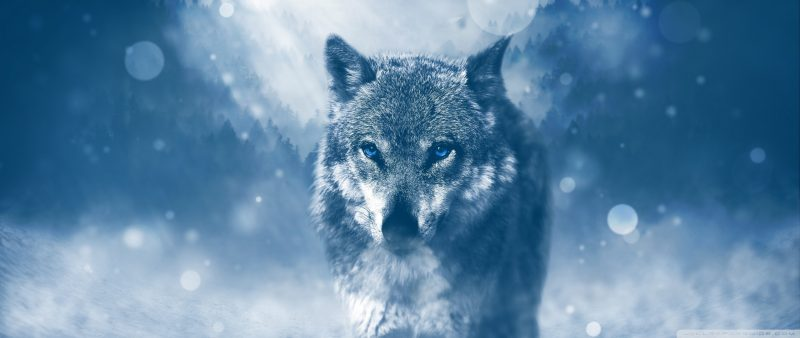 Alpha wolf pack leader in snow