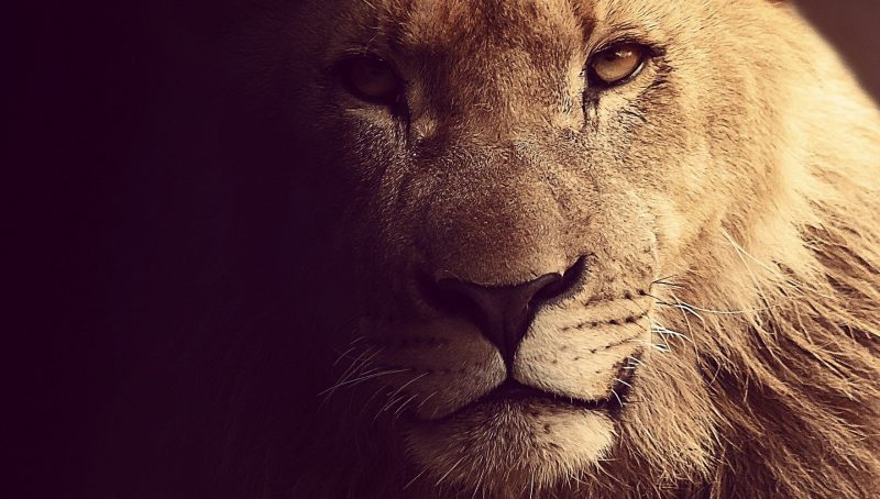 beautiful lioness looking into the camera