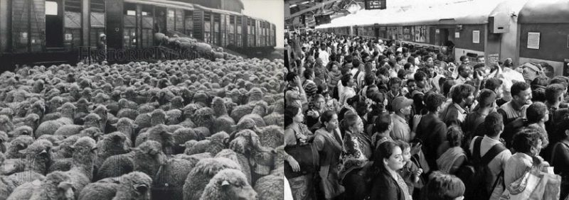 a society of sheep